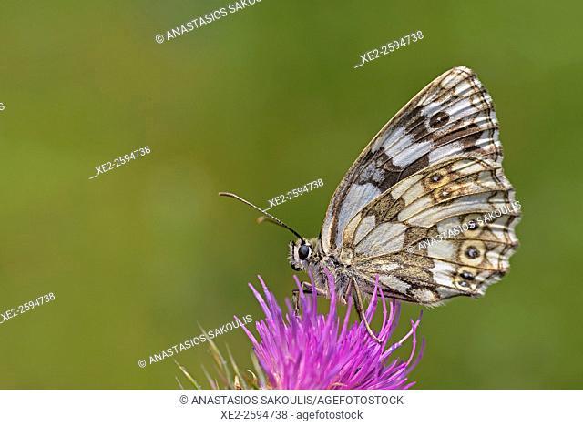 Marbled White - Melanargia galathea, Greece