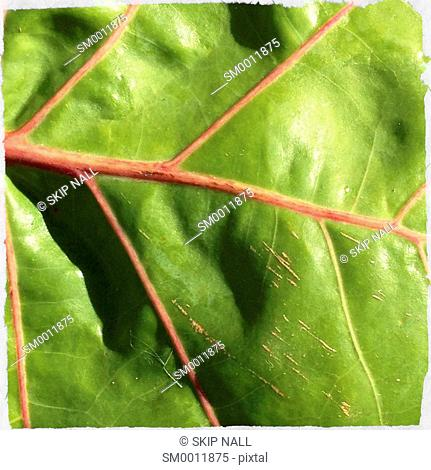 Detail of a Sea Grape leaf