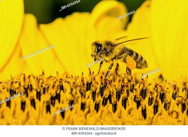 Carniolan honey bee (Apis mellifera carnica) is collecting nectar at a common sunflower (Helianthus annuus) blossom, Saxony, Germany