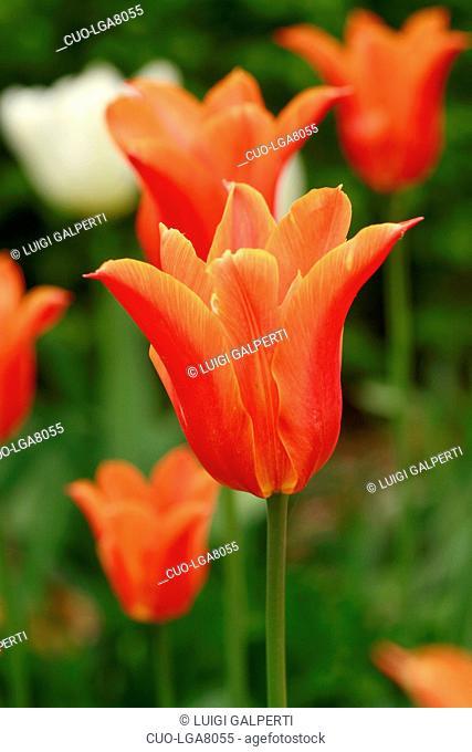 Tulipano a fior di giglio Ballerina, lily-flowered tulip