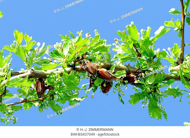Common cockchafer, Maybug, Maybeetle (Melolontha melolontha), serval maybugs on a branch, Germany, Baden-Wuerttemberg