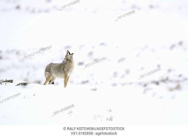 Coyote ( Canis latrans ) in winter, standing in snow on top of a hill, intensive howling, Yellowstone area, Wyoming, USA.