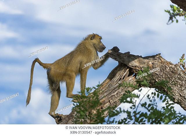Olive baboon, Papio anubis, Anubis baboon, Tanzania, East Africa