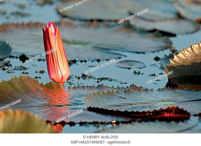 Red Indian water lily - Closed flower (Nymphaea pubescens) - Tale Noi - Patthalung - Thailand