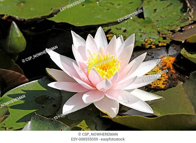 Water-Lily, Nymphaea Hybrid