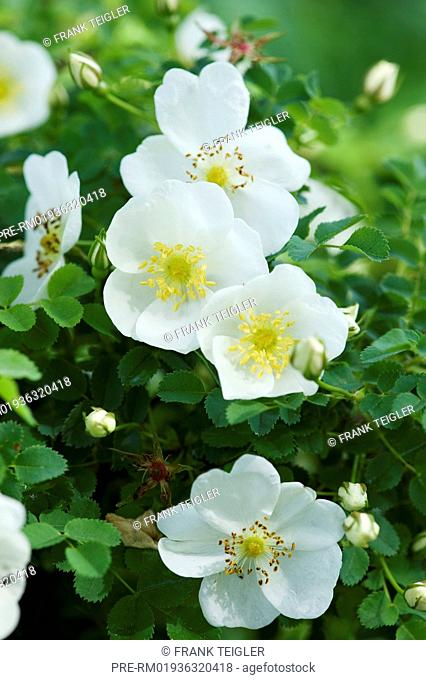 Burnet Rose, Rosa spinosissima / Bibernell-Rose, Rosa spinosissima
