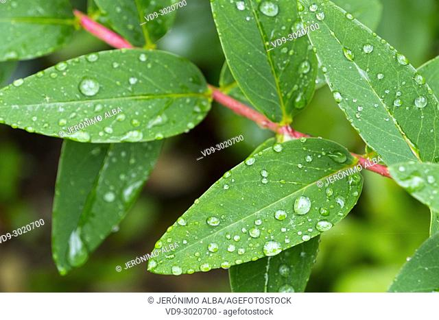 Nature. Raindrops on a green leaf. Saja Natural Park, Saja-Nansa, Cantabria, Spain Europe