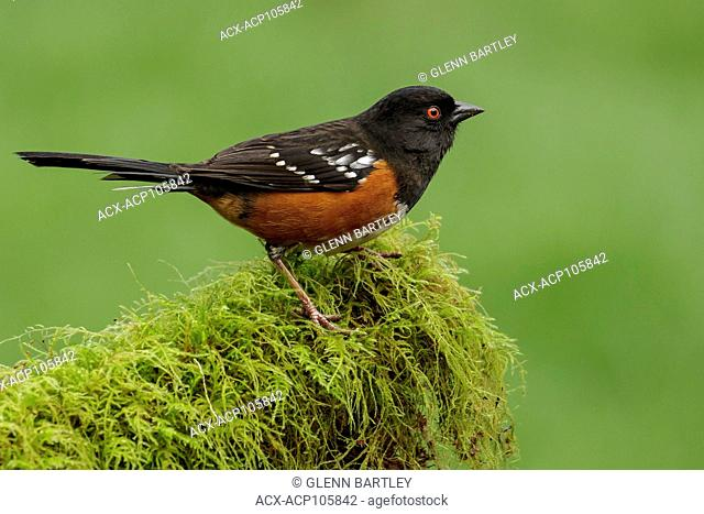 Spotted Towhee (Pipilo maculatus) perches on a mossy branch in Victoria, British Columbia, Canada