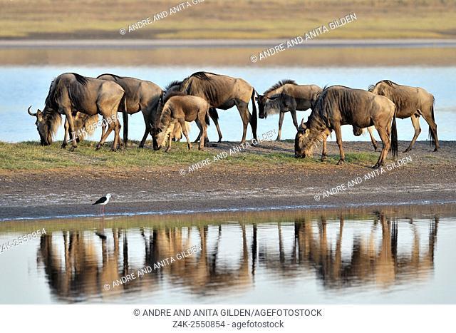 Wildebeest (Connochaetes taurinus), gnu, herd grazing and reflected in water, Ndutu lake, Serengeti national park, Tanzania