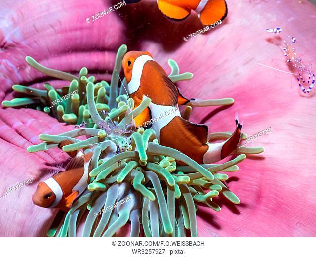 Clownfisch (Amphiprion ocellaris)