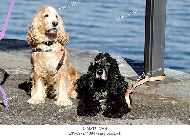 Two cocker spaniel dogs waiting