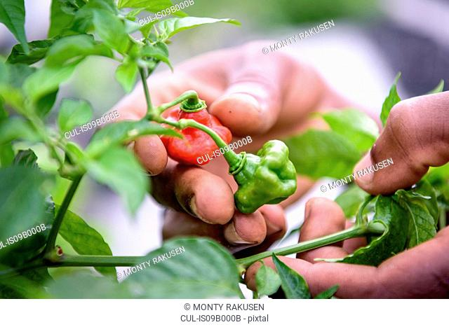 Close up of worker picking bell peppers in Hydroponic farm in Nevis, West Indies