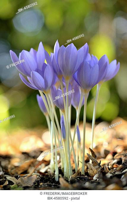 Meadow saffrons (Colchicum autumnale), flowers, North Rhine-Westphalia, Germany