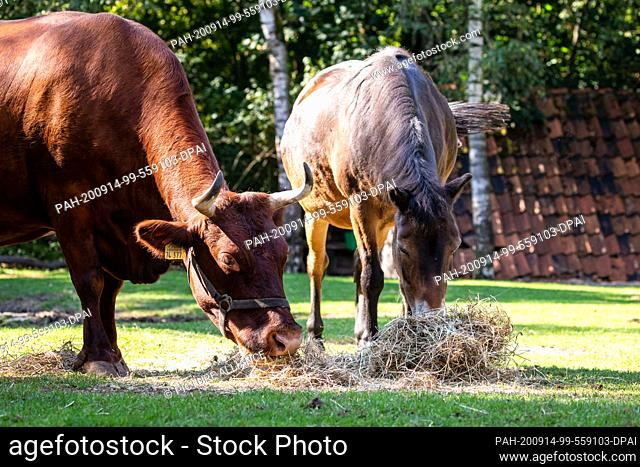 14 September 2020, Lower Saxony, Hanover: A Harz Red Cattle (l) is standing next to an Exmoor pony on a pasture in the Hannover Adventure Zoo
