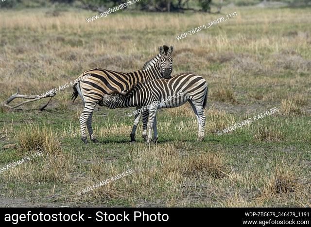 A Plains zebra (Equus quagga, formerly Equus burchellii) mother is nursing a yearling, on the floodplains in the Gomoti Plains area, a community run concession