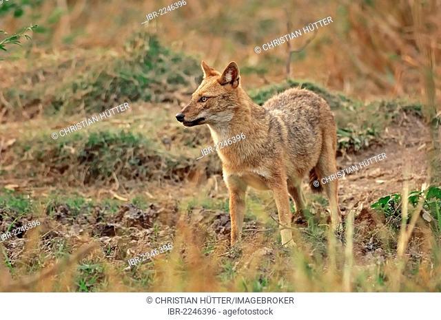 Golden Jackal or Common Jackal (Canis aureus), Keoladeo Ghana National Park, Rajasthan, India, Asia