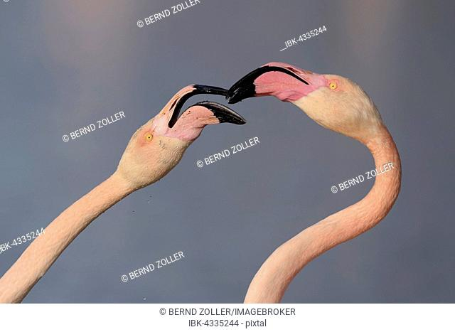 Greater flamingos (Phoenicopterus roseus) fighting with beaks, aggressive behaviour, territorial disputes, close-up, portrait, Camargue, Southern France, France