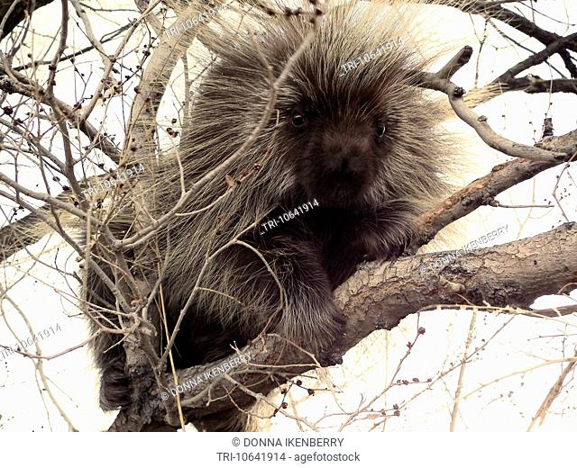 North American Porcupine Erethizon dorsatum Monte Vista National Wildlife Refuge Colorado USA