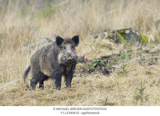 Wild boar (Sus scrofa), Tusker, Spessart, Bavaria, Germany, Europe