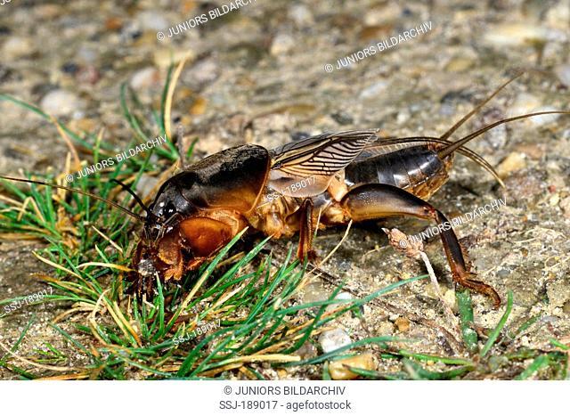 European Mole Cricket (Gryllotalpa gryllotalpa) on grass. Germany