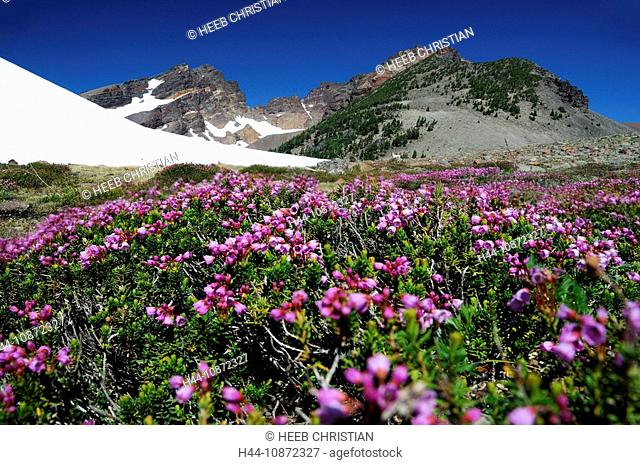 wild flowers, flowers, Broken Top Mountain, Three Sisters Wilderness, nature, Deschutes National Forest, Central Oregon, Bend, Oregon, USA