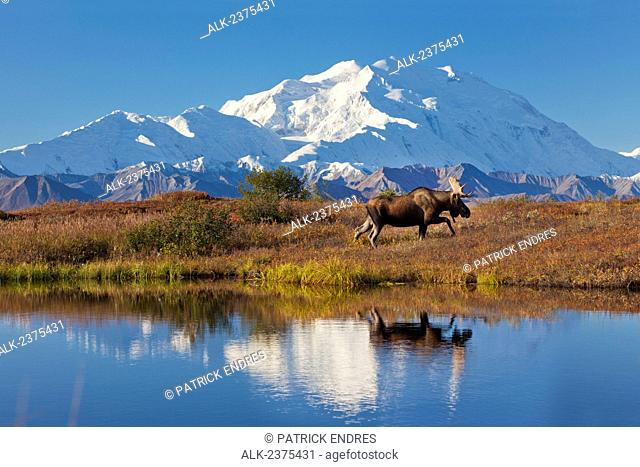 Bull moose reflection in a small kettle pond with the summit of Mt McKinley in the distance, Denali National Park, Alaska