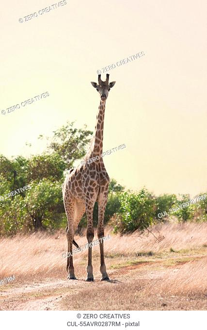 Wild giraffe on safari, Stellenbosch, South Africa