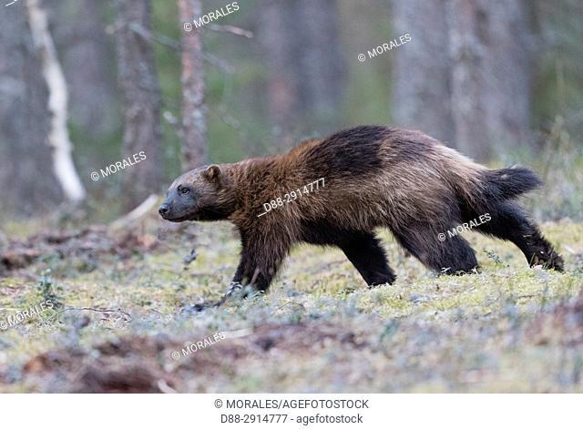 Europe, Finland, Kuhmo area, Kajaani, Wolverine (Gulo gulo)