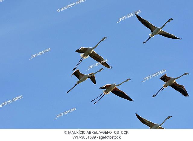 Flamingos (Phoenicopterus roseus) flying over the Sado Estuary Nature Reserve. Portugal