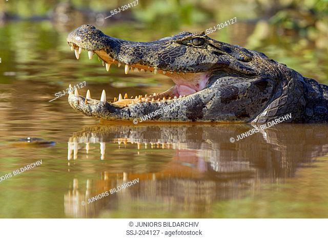 Yacare Caiman (Caiman yacare). Portrait of adult with mouth open. Pantanal, Brazil