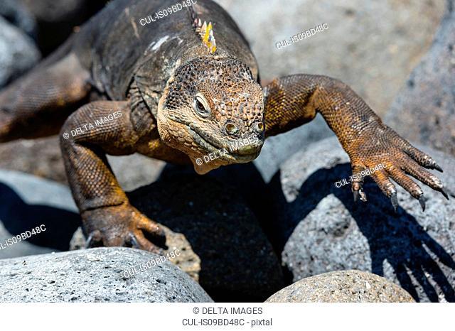 Land Iguana (Conolophus subcristatus) on rocks, close up, South Plaza Island, Galapagos Islands, Ecuador