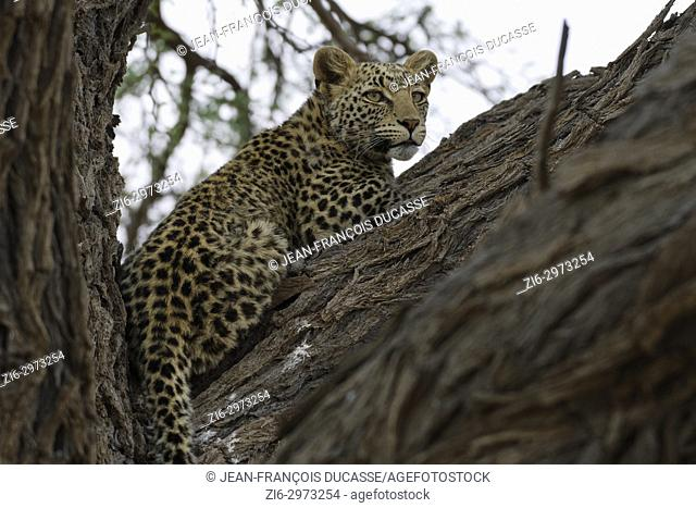 Leopard (Panthera pardus), lying in a tree, alert, Kgalagadi Transfrontier Park, Northern Cape, South Africa, Africa