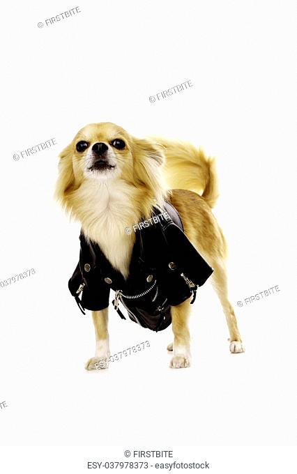 Sand Coloured Chihuahua Wearing a Black Leather Biker Jacket Standing Barking