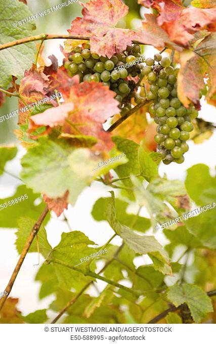 Rheisling grapes, Braubach, Rhine River, Western Germany
