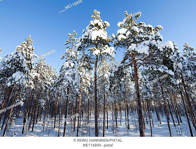 Young and snowy pine, pinus sylvestris, trees growing on wet bog. Location Oulu Finland Scandinavia Europe