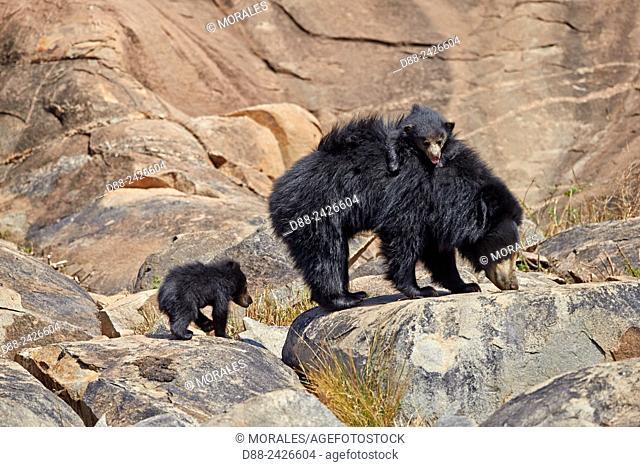 Asia, India, Karnataka, Sandur Mountain Range, Sloth bear Melursus ursinus, mother with baby, mother carrying babies on the back