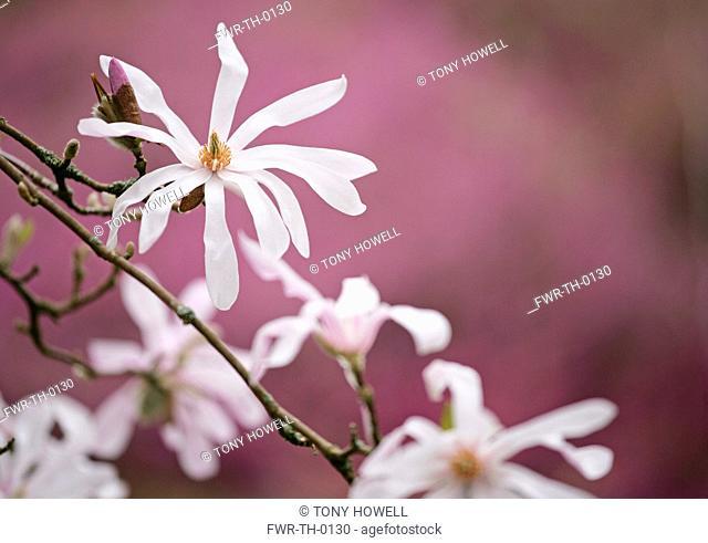 Magnolia x loebneri 'Leonard Messel', Magnolia