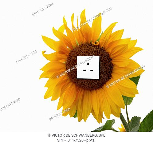 Sunflower with an electrical socket, conceptual artwork