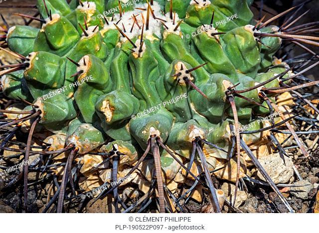 Thelocactus rinconensis / Thelocactus lophothele, cactus endemic to Mexico
