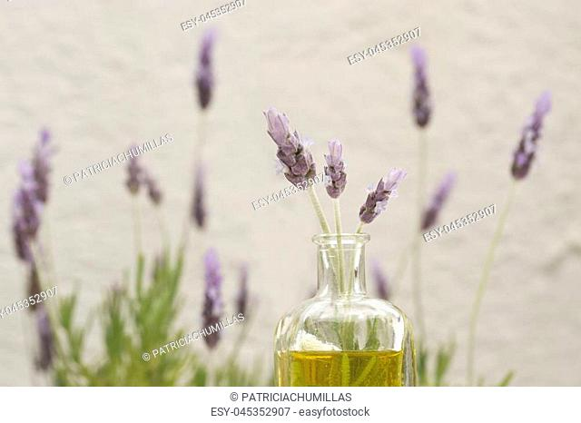 A bottle of essential oil with fresh lavender twigs on a white background