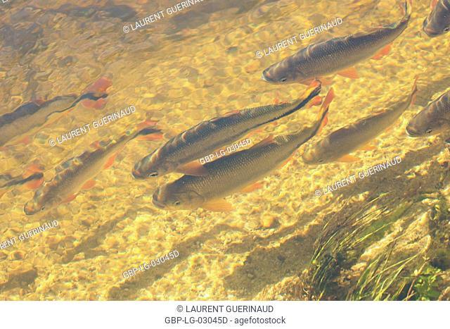 Pisces, Piraputanga, Pantanal, Mato Grosso do Sul, Brazil