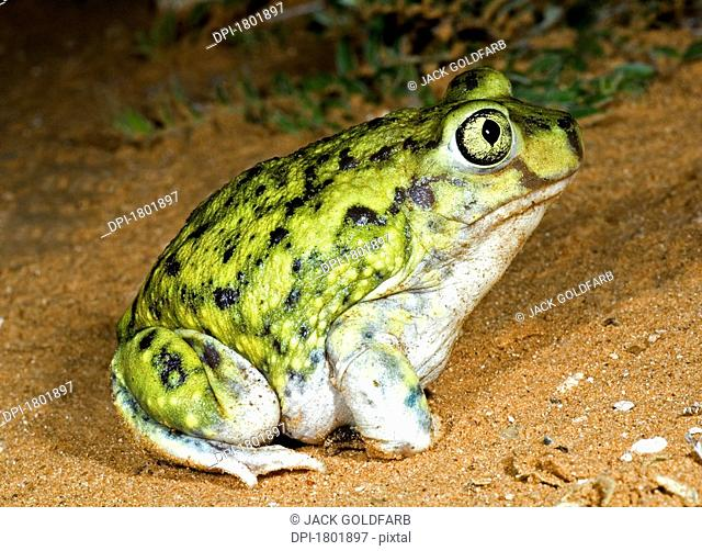A spadefoot toad