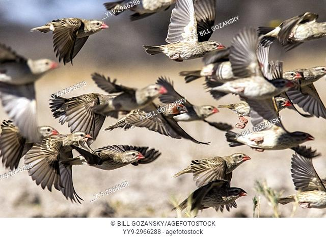 Flock of red-billed quelea (Quelea quelea) in flight [motion blur]- Onkolo Hide, Onguma Game Reserve, Namibia, Africa