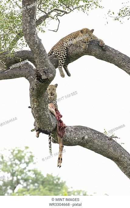 A mother leopard and her cub, Panthera pardus, lie on tree branches with an impala kill, Aepyceros melampus