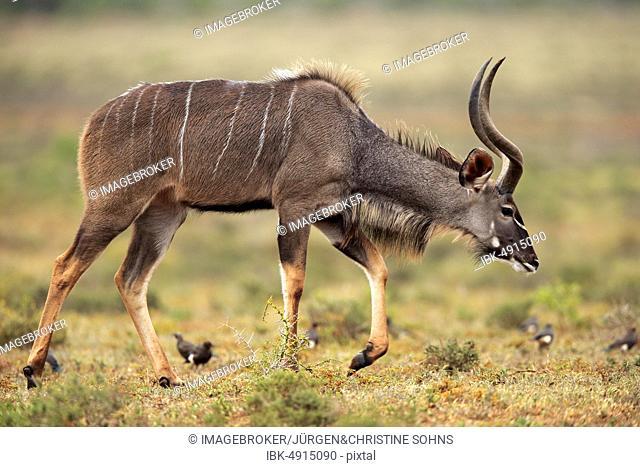 Zambezi greater kudu (Strepsiceros zambesiensis), adult, male, running, Addo Elephant National Park, Eastern Cape, South Africa, Africa