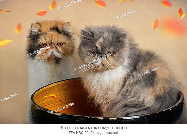 2 Persian Cat