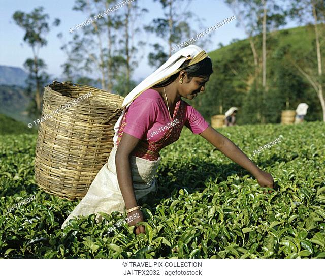 Tea Fields / Tea Picker, Nuwara Eliya, Sri Lanka