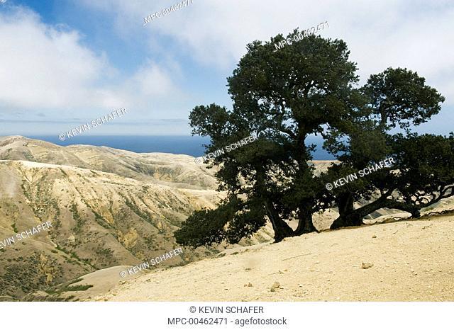 Island Oak (Quercus tomentella) tree, Santa Rosa Island, Channel Islands National Park, California