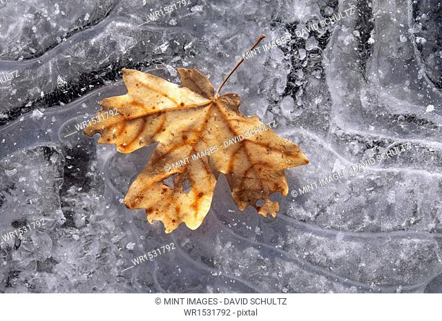 A maple leaf in autumn colours on ice
