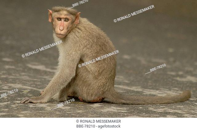 Adult Bonnet's Macaque